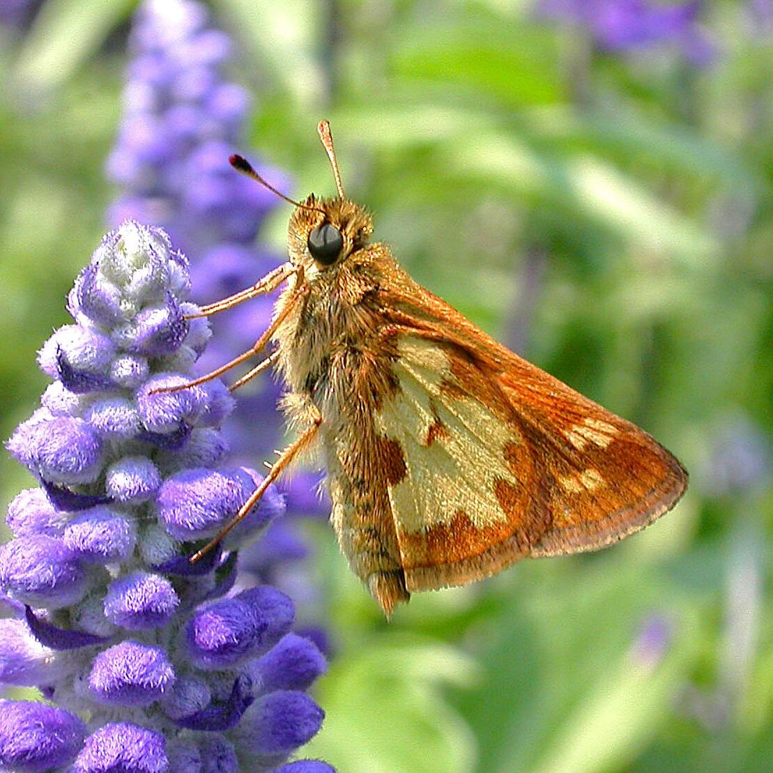 Peck's Skipper. Photo: Bob Yukich