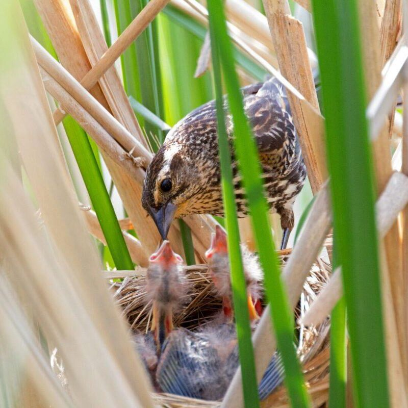 Red-winged Blackbird female at nest. Photo: Tony Pus