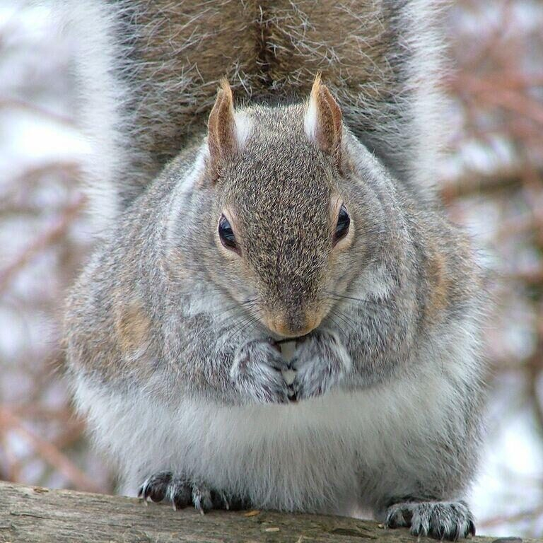 Eastern Grey Squirrel. Photo: Tony Pus
