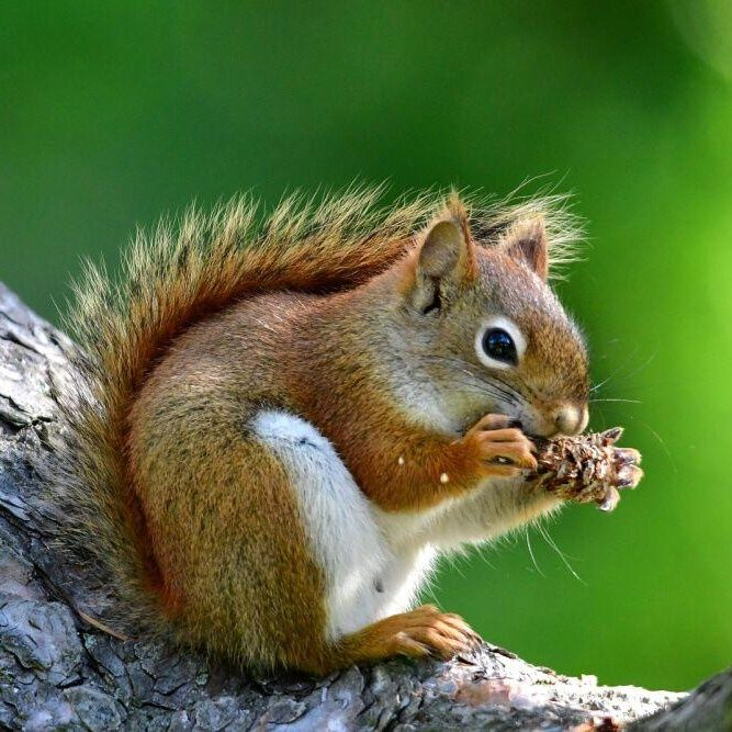 Red Squirrel. Photo: JM