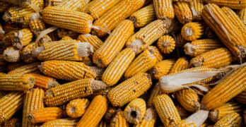 How did corn become the dominant crop? Any environmental consequences?