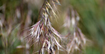 When did Cheatgrass become a problem in the west?
