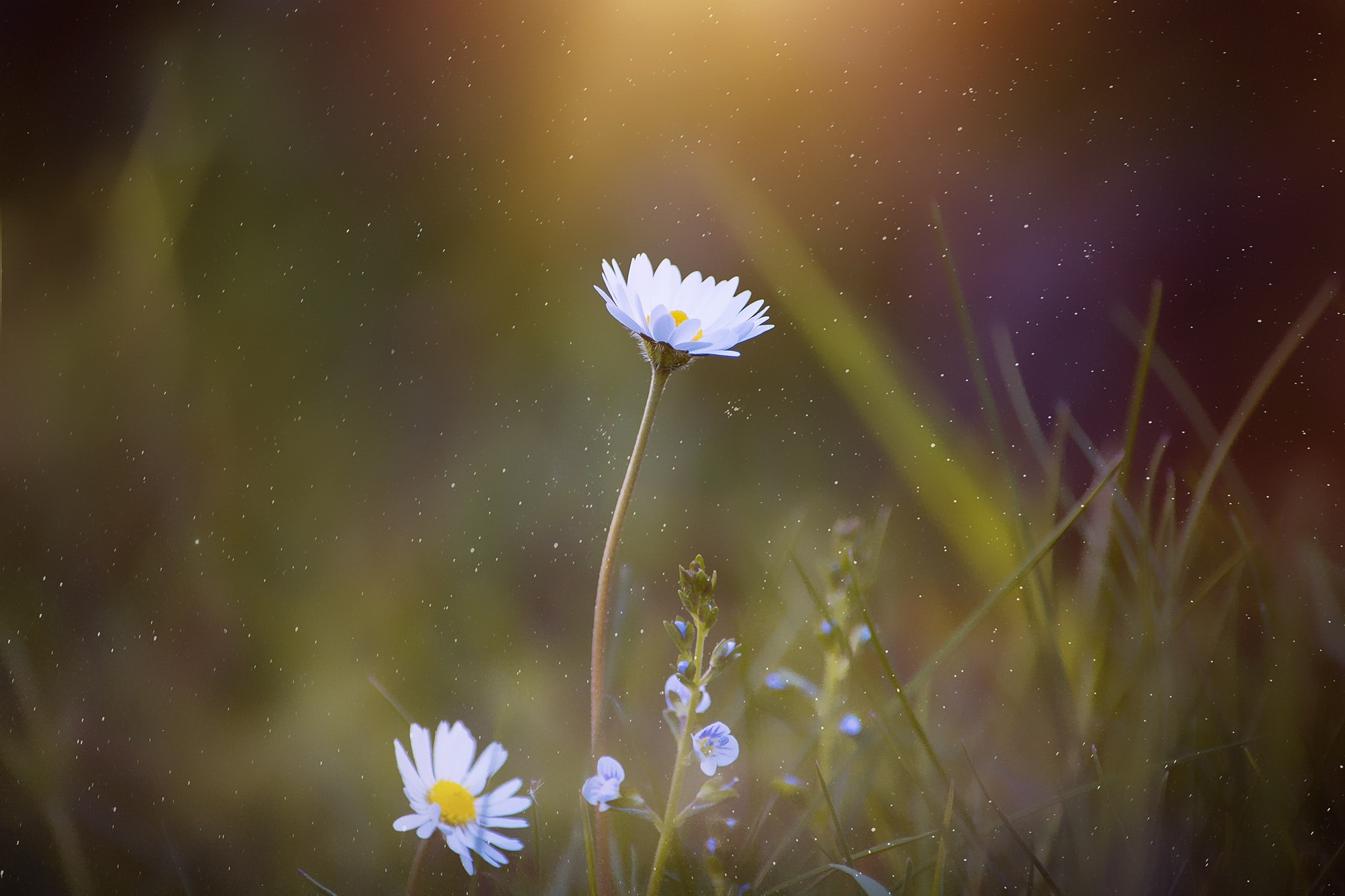 blooming-blur-close-up-daisy