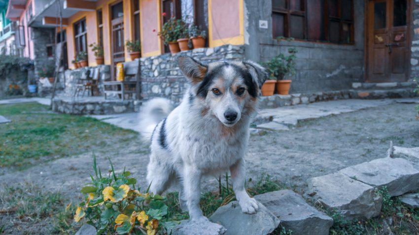 Neighbor's Dog in Jibhi Tirthan Valley