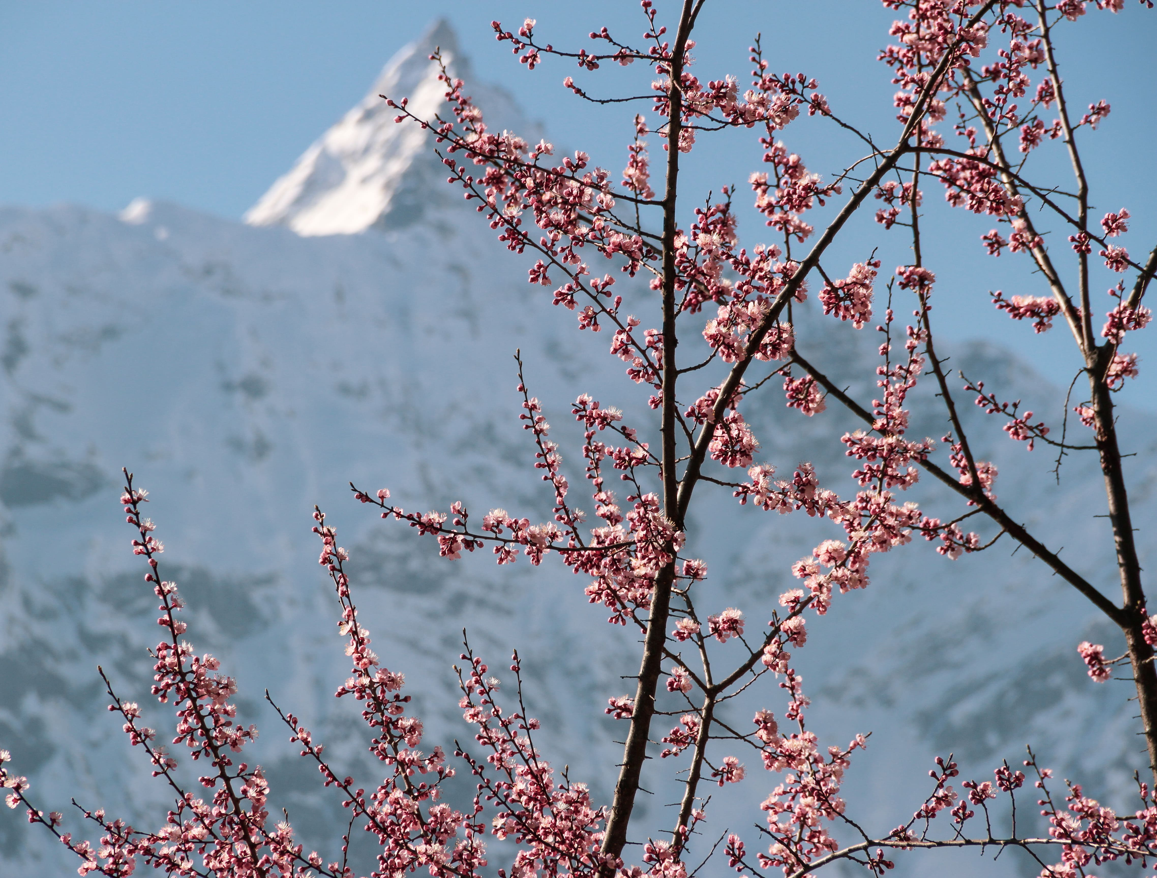 Blooming flowers on the branches of the trees in Kalpa