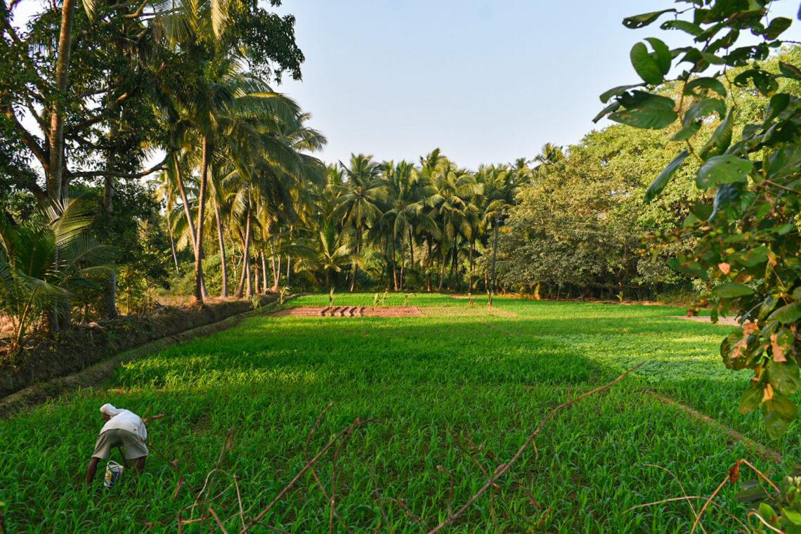 Fields in Goa