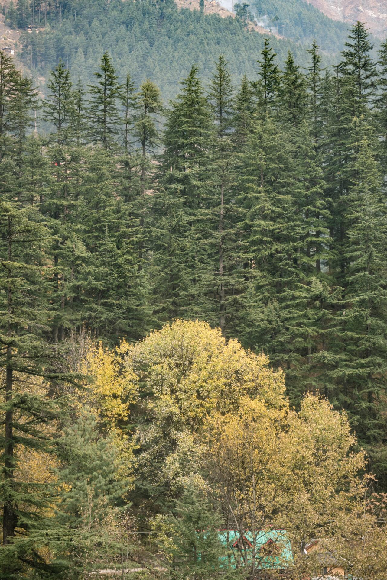 Tall Oak Trees in the Jibhi Valley