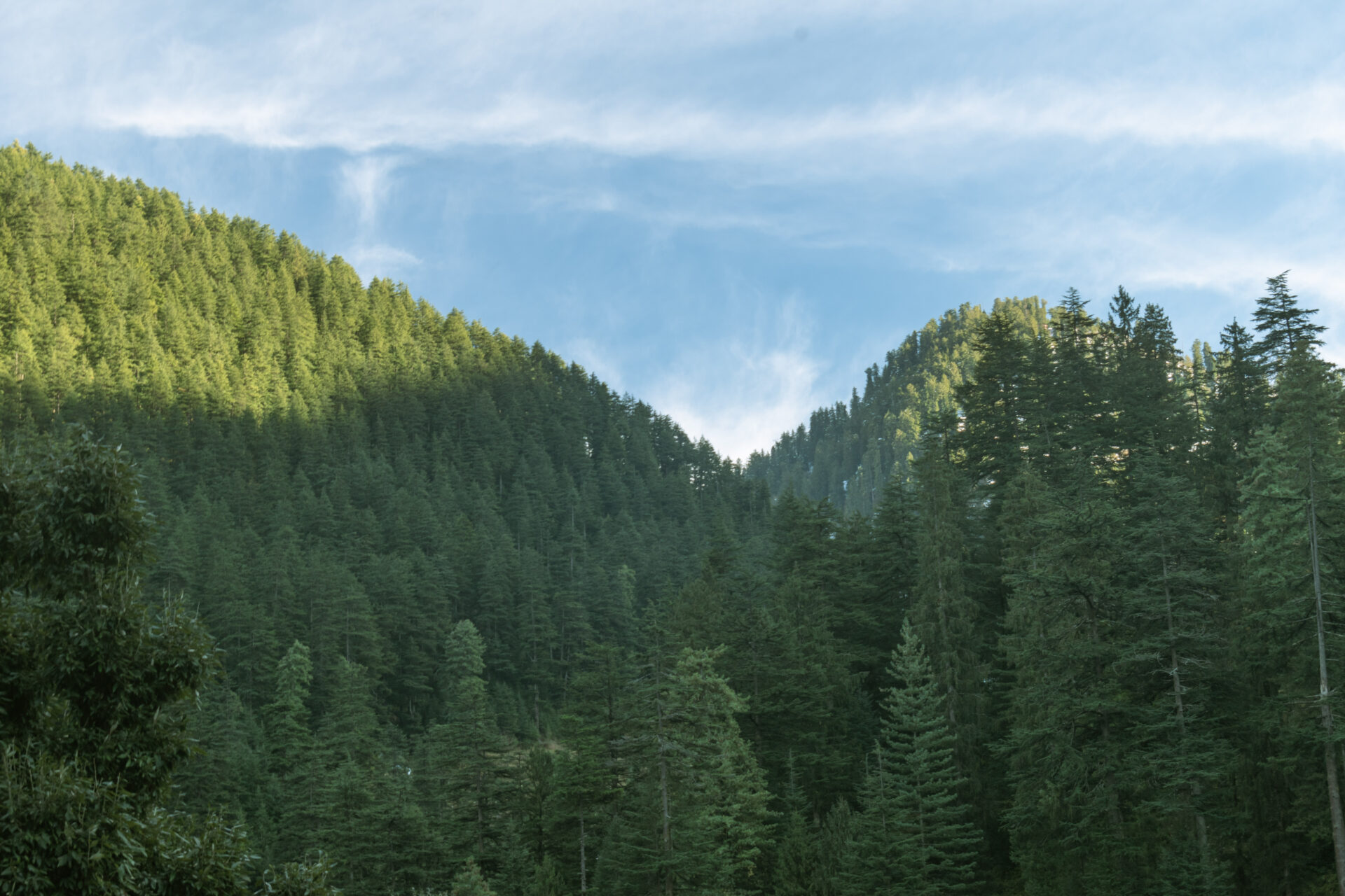 Facing the tall trees of the Jibhi