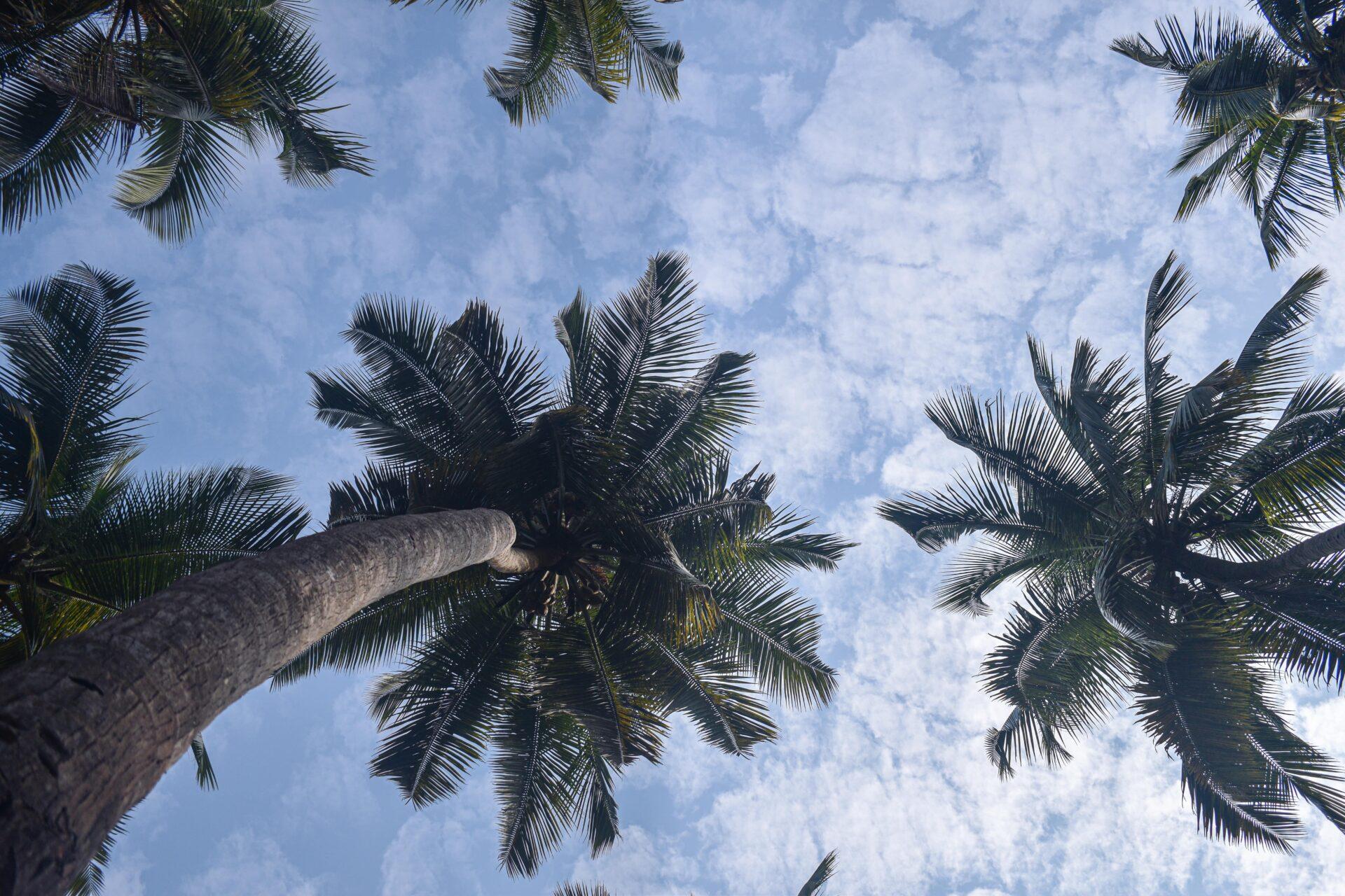 Tall Coconut Trees in Goa