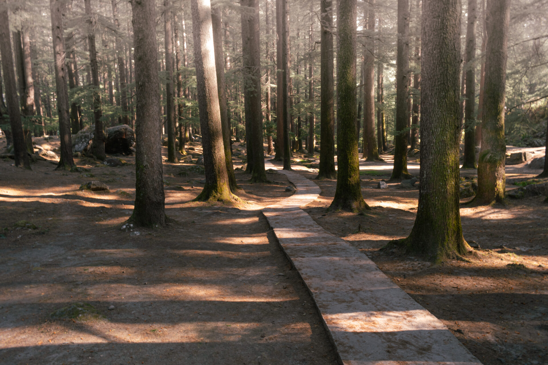Trail Surrounded by Tall Deodar Trees