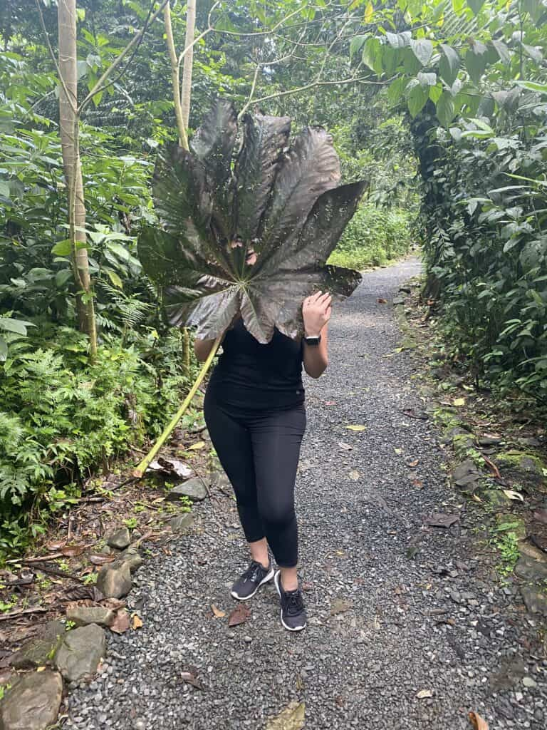Large leaves in el Yunque