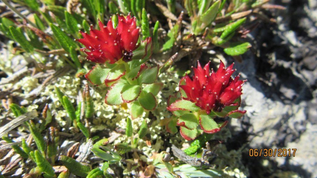 Rose Root ,Stonecrop Sedum family