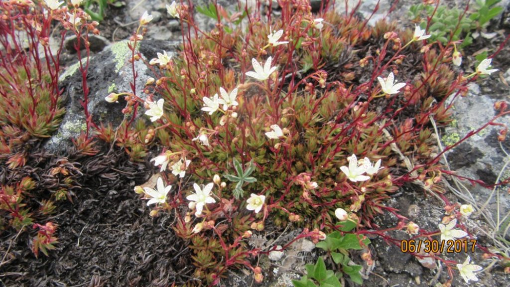 White- Spotted Saxifrage
