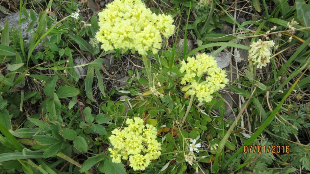 Umbrella Plant or Sulphurmountain Buckwheat