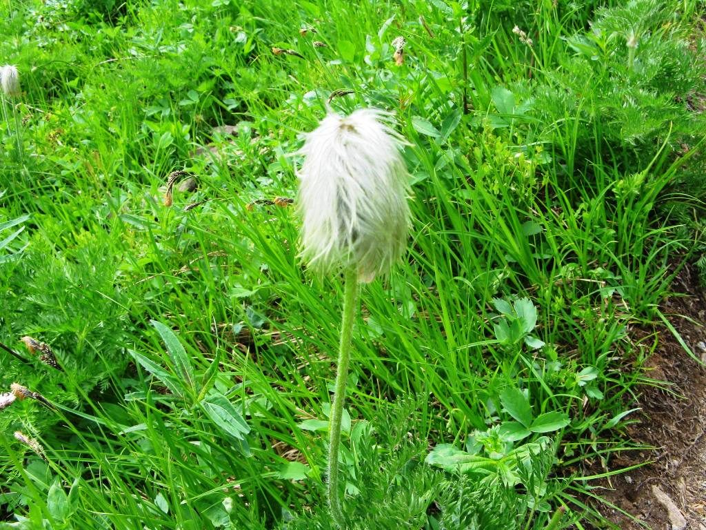 Western Anemone IN seed Toe Headbaby or Hippie on a Stick