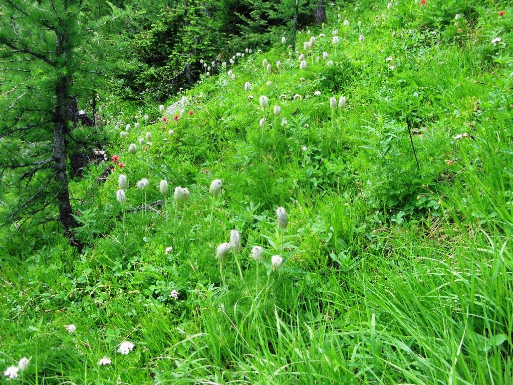 White Pasque Flower or Towhead Baby or Hippie on a Stick