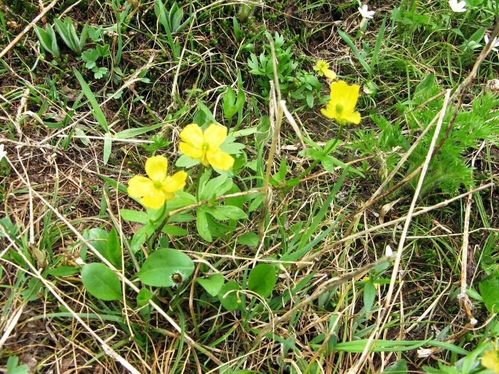 Yellow Buttercup