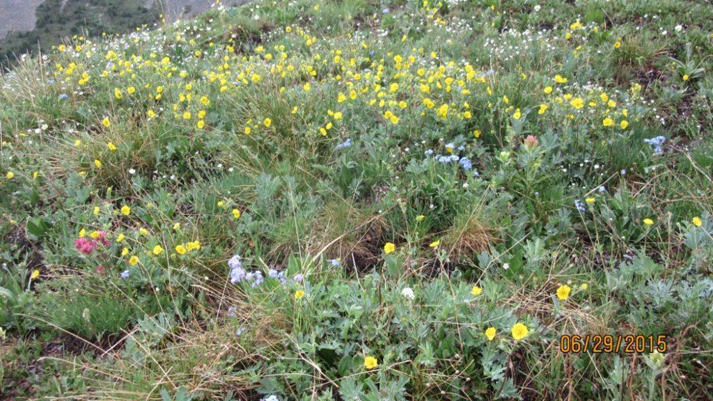 Alpine Buttercup