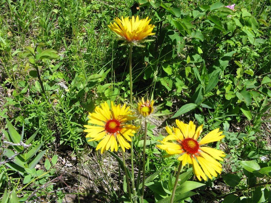 Wild Gaillardia or Brown Eyed Susans