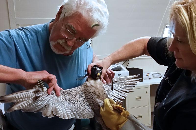 Rebuilding a falcon