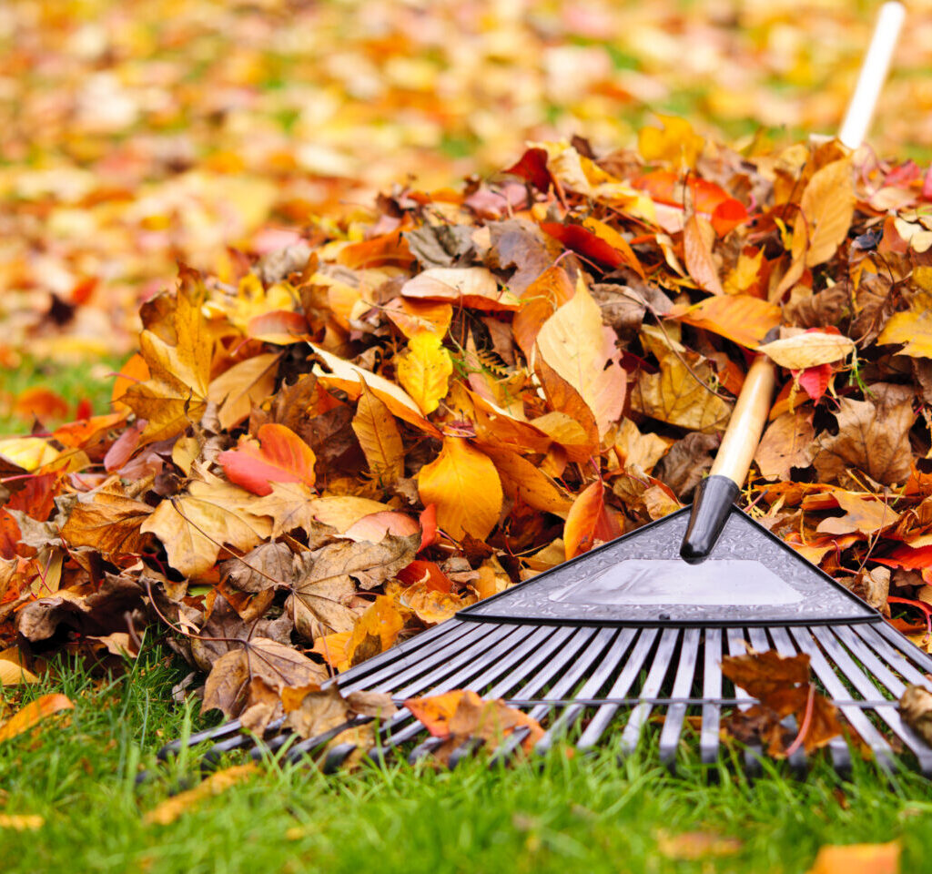 bright fall leaves with a fan rake