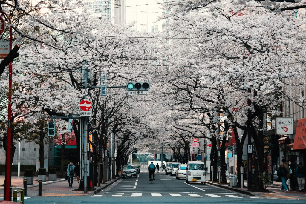 Photo of street cherry blossom trees in Japan