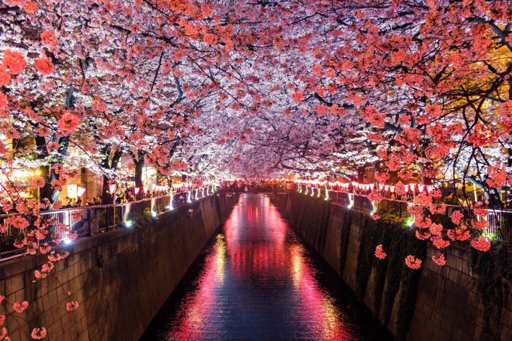 Photo of cherry blossoms in full bloom at night