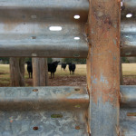 These cows are happy because they're safe and sound.