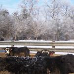 79-Cattle-Rail-Snow