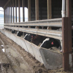 Used guardrail works great as a feedbunk head rail – it does not get torn up by bobbing cow heads.