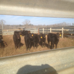 Happy Cows seen through the rails of the perfect fence!