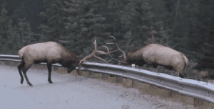 What would it look like if the battle for the best used guardrail price were to be played out over the best used guardrail itself, acted out by two beautiful bull elk?