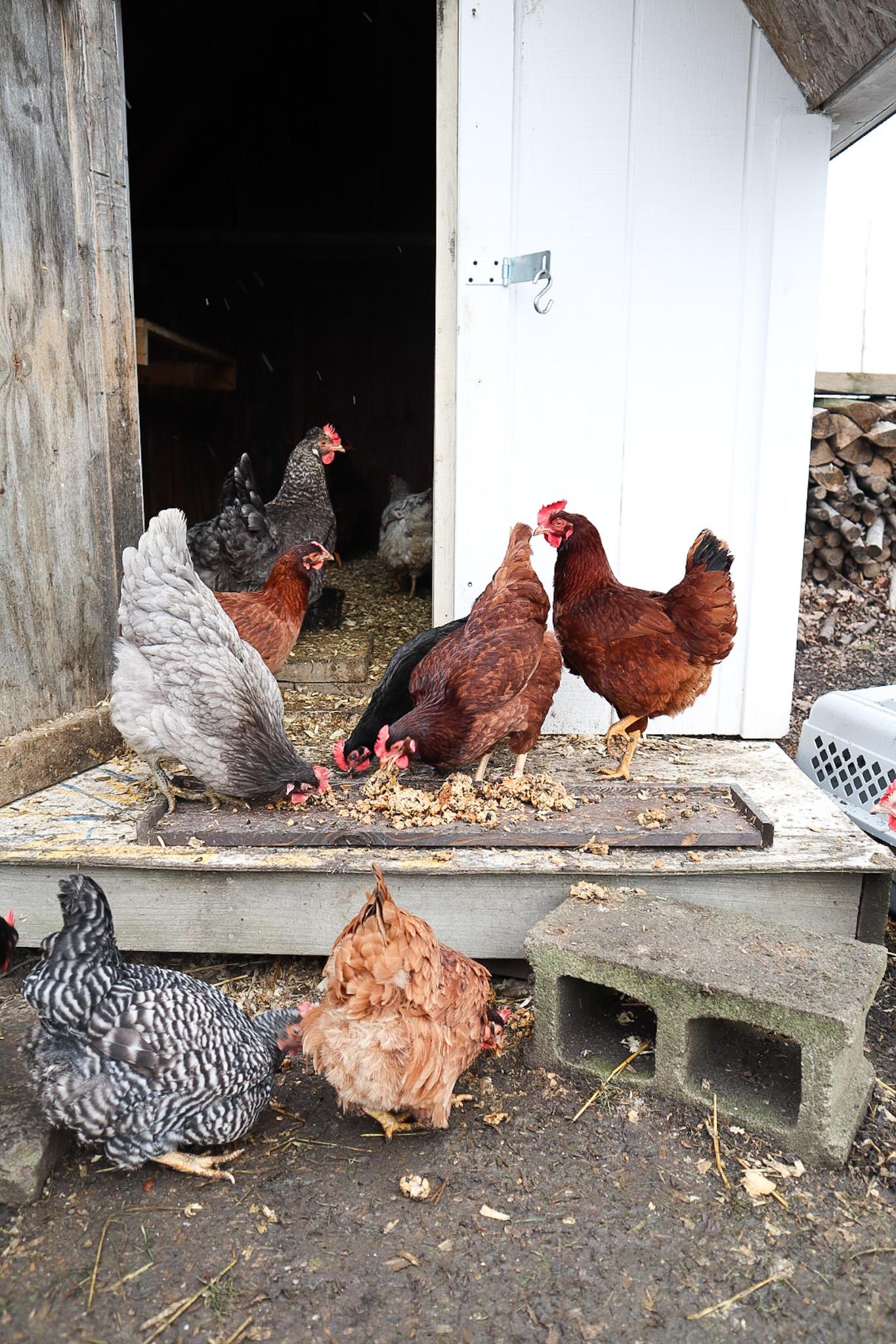 chickens eating chicken treats