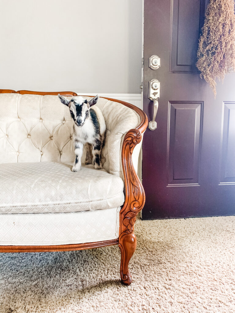 Baby goat on victorian couch