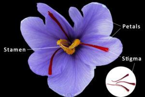 Crocus Sativus, Saffron Crocus
