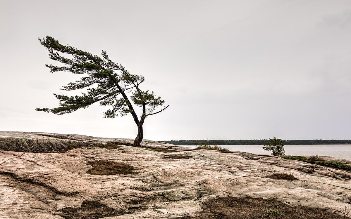 Windblown tree.