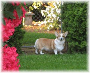 How to Select Pembroke Welsh Corgis