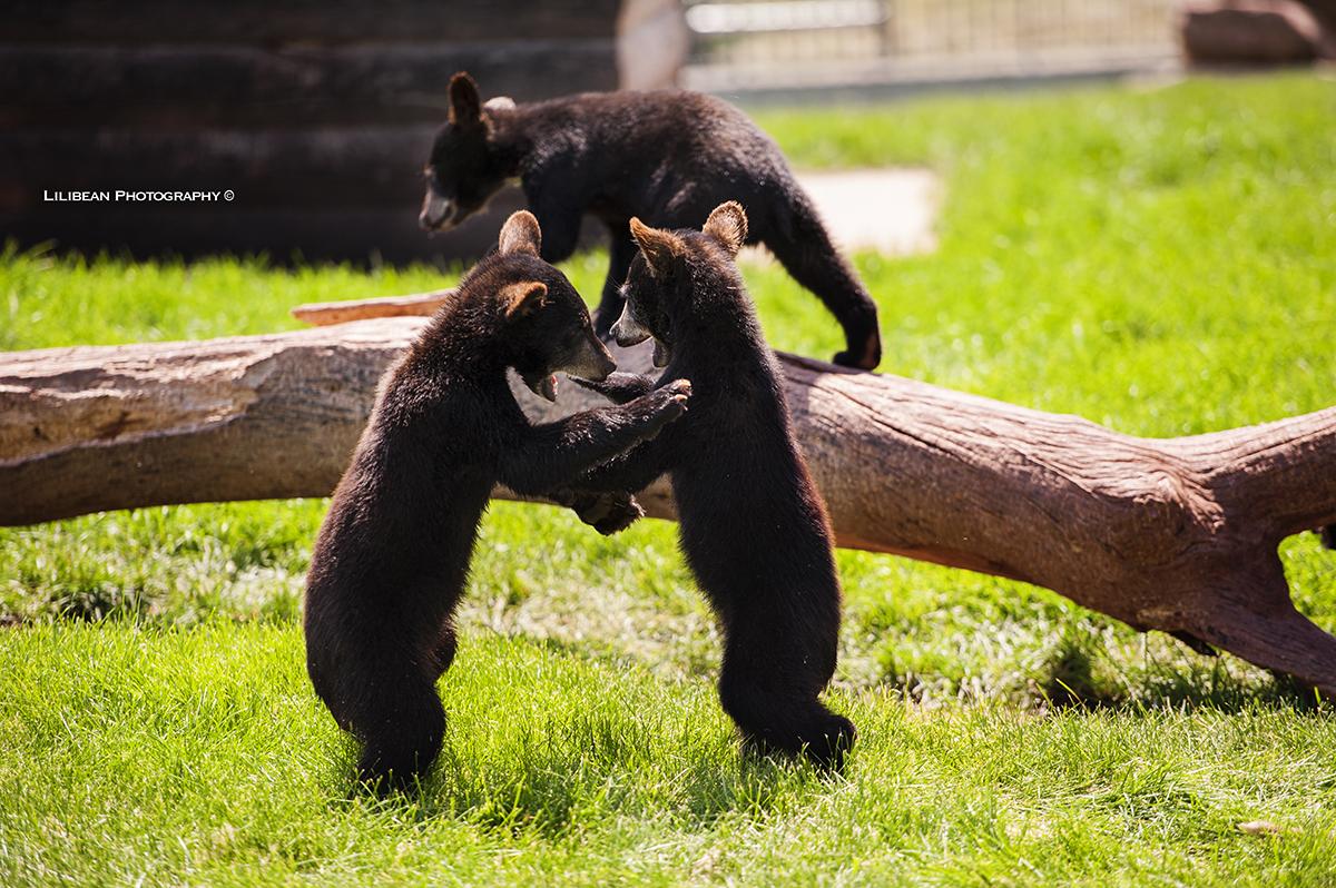 bear country south dakota summer road trip yellowstone mount rushmore black hills baby bears animals wild life cubs brown bear