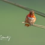 Allen's-Hummingbird_6681