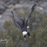 Bald Eagle in Flight (blurred wings)_6772