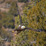 Bald-Eagle_03913