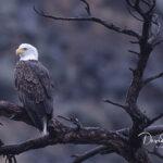 Bald Eagle_6810