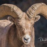 Bighorn-Portrait_01953