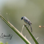 California-Gnatcatcher_7251