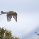 D_Liebowitz_Cassin's Finch in flight_0627