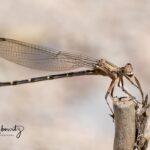 Drangonfly_1720