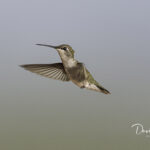 Female Rufous Hummingbird_8444