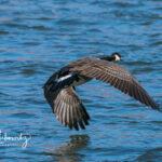 Goose-flying-on-the-Rio-Grande_02378