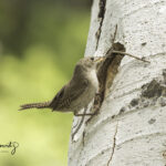 House Wren building nest with large twig_8069