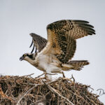 Osprey-on-the-nest_7006
